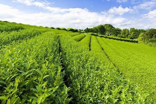 大数据助力精准帮扶 一片茶叶扶起一个产业 我们这样奔小康