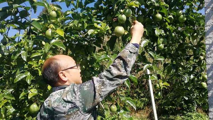 """从湖中捕鱼到山上摘""""金"""" 慈溪产业扶贫助力贵州安龙农民转型"""