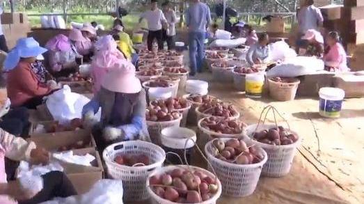 凉山盐源:苹果又到丰收季 今年有些不一样