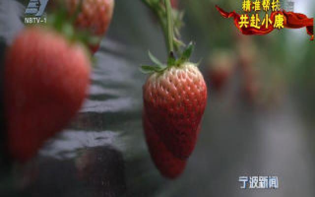 精准帮扶 共赴小康丨一颗小小草莓 联起奉化珲春两地协作情
